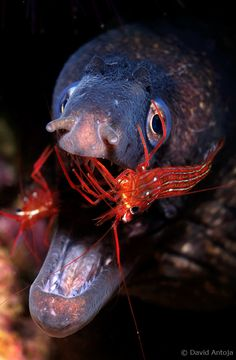 eel & cleaning shrimp by davidantoja Underwater Creatures, Underwater Life, Ocean Creatures, Jacques Cousteau, Beautiful Sea Creatures, Animals Beautiful, Pet Shrimp, Life Under The Sea, Beneath The Sea