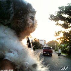 Pepper #shihtzu #dog #philippines #フィリピン #シーズー #犬