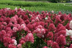 Diamond Rouge #Hydrangea is, without a doubt, the reddest paniculata hydrangea available to the home gardener today. In late June the #flowers on Diamond Rouge emerge pristine white. They change to #pink as they age and then turn a delicious shade of raspberry red. Finally they turn a deep wine #red from August to the first frost. This fantastic red flower color lasts well into fall and hydrangea flowers are some of the best for drying for winter color.