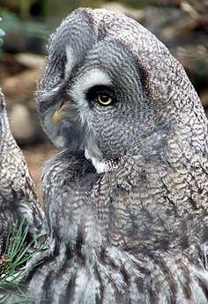 Great Gray Owl phenomenal