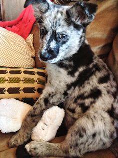 Labahoula (Labrador and Louisiana Catahoula) - my grandpuppy Dog Love, Puppy Love, Mans Best Friend, Best Friends, Getting A Puppy, Louisiana, Labrador, Leopard Dog, Puppies