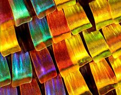 Closeup of the wing scales of the magnificent Madagascan Sunset Moth (Chrysiridia rhipheus). The iridescent parts of the wings which make it so beautiful, actually do not contain any pigment; rather, the colors originate from optical interference