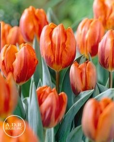Tulipa single early 'Princess Irene' Tulip