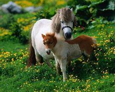 Poni Galés - http://www.elmundodelcaballo.com/caballos/razas/razas-de-ponis/poni-gales/