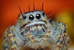 macrophotographies d araignees sauteuses 8   Macrophotographies daraignées sauteuses   Thomas Chahan sauteuse salticide Salticidae photo mac...