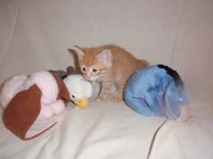 Neptune is an adoptable Domestic Short Hair - Orange And White Cat in Altoona, PA. Orange And White Cat, Short Hair Styles, Cats, Animals, Bob Styles, Gatos, Animales, Animaux, Short Hair Cuts