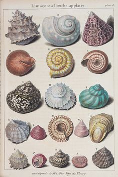 Seashells photos - 5 Gorgeous Old Pictures of Seashells – Seashells photos Gravure Illustration, Illustration Art, Antique Illustration, Vintage Prints, Vintage Art, Vintage Paper, Seashell Painting, Seashell Drawings, Vintage Drawing