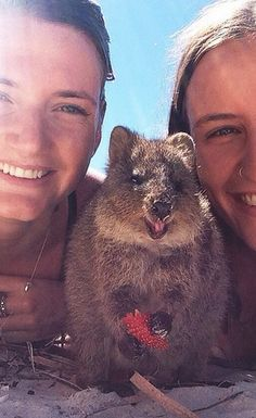 15 Quokka Selfies Too Cute to Ignore - World's largest collection of cat memes and other animals Penguin Animals, Happy Animals, Animals And Pets, Funny Animals, Cute Animals, Cute Creatures, Beautiful Creatures, Animals Beautiful, Quokka Animal