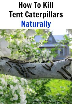 How to identify and kill tent caterpillars in your trees naturally. Get rid of tent caterpillars easily before they strip your trees of leaves.