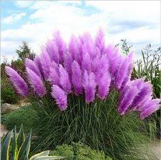 Pampas 잔디 씨앗 테라스 정원 화분 장식 식물 새로운 꽃 (핑크 노란색 화이트 퍼플) Cortaderia 잔디 씨앗 100 개