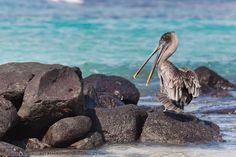 Brown pelican, Punto Suarez, Espanola Island, Galapagos Islands, Ecuador.