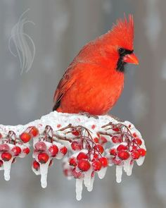 Northern Cardinal                                                                                                                                                      More
