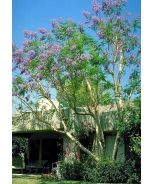 Jacaranda (Jacaranda mimosifolia)Moderate grower 25 to 40 ft. and taller, 25 to 35 ft. wide  Full sun  Once established, needs only occasional watering