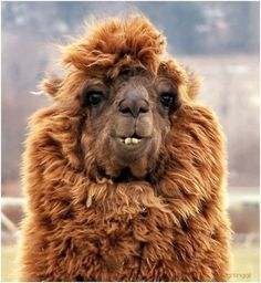 "conflictingheart: "" 10 Alpacas with Hilarious Hair Some animals have gorgeous hair, like the pristine mane of a quarter horse. But what about the alpaca? Alpacas are funny looking animals with their. Alpacas, Animals And Pets, Baby Animals, Funny Animals, Cute Animals, Wild Animals, Animals Planet, Beautiful Creatures, Animals Beautiful"