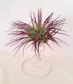 Air Plant / Purple Houston / Tillandsia White Spring / Planter / Gift / Office Accessory / Home Decor / Office Decor Indoor Flowering Plants, Air Plants, Cactus Plants, Tropical Plants, House Gifts, New Home Gifts, Planting Succulents, Planting Flowers, Purple Plants