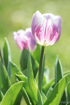 """Tulips"" by Nevena Uvurov on flickr"