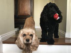 Cocker Spaniel Doggies