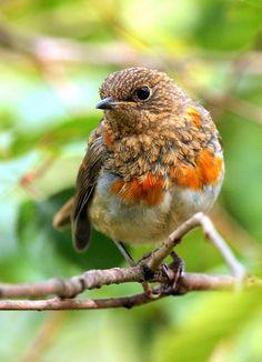 Juvenile Robin.  Found on flickr.com  Flickr Juvenile Robin by Brimack on Flickr