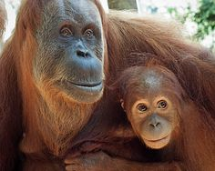 Bukit Lawang and the Orangutan Sanctuary- in indonesian orang means man or person, utan means forest
