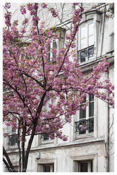 Cherry Blossoms in Montmartre - April in Paris,