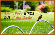 Let's talk about how to keep birds out of your garden naturally. While birds do eat mosquitos and wasps, it's best if they keep their appetites away from our gardens!