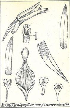 Taeniophyllum neopommeranicum