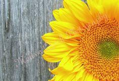 Favorite Sunflower   Austin, TX