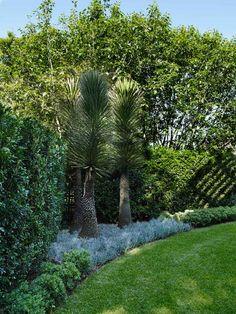 Yucca filifera & Senecio serpens