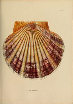 Japanische Meeres-Conchylien T 2-3 Cassel,T. Fischer,1869-1874. biodiversitylibrary.org/page/35396272