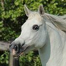 Loika de Lafon (Elart x Lys of Lafon) 2004 grey mare bred by Mas de Lafon, France