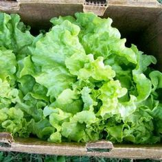 "400 Seeds, Lettuce ""Black Seeded Simpson"" (Lactuca sativa) Seeds By Seed Needs by Seed Needs: Vegetables. $1.65. Produces delicous lettuce guaranteed!. Ready for harvest in about 45 days. Prefers an area of full sunlight. Easy planting instructions along with a colorful picture printed on each ""Seed Needs"" packet!. Quality Lettuce seeds packaged by ""Seed Needs"". Black Seeded Simpson is a loose leaf lettuce with upright leaves that are great for continuous cutting. The..."