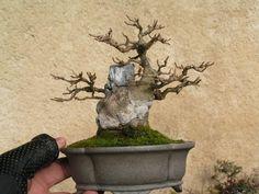 Site complet sur le bonsai et les arts associés, des milliers d'articles sur l'univers du bonsai, et une très grande communauté de passionnés