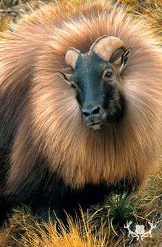 Himalayan Tahr - large Asian ungulates related to wild goats. Interesting Animals, Unusual Animals, Rare Animals, Animals And Pets, Strange Animals, Wild Animals, Alpacas, Beautiful Creatures, Animals Beautiful
