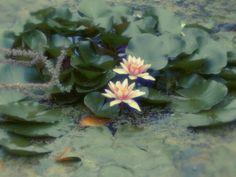 #waterlily #näckros #peckhamryepark