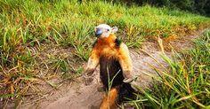 Viagem e Turismo - Twitter:   Sim, esse tamanduá está em pé!  No Pantanal, tudo é incrível. Veja 6 fotos inusitadas da região: http://abr.ai/2ihuijW