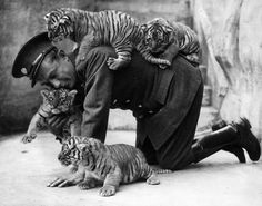 Historical Photos: Eight week old tiger cubs belonging to Ranee, a tiger ar Whipsnade zoo, find that their keeper is . Hot Shots, Tiger Attack, Baby Animals, Cute Animals, Wild Animals, Picture Store, Culture Art, Photo Animaliere, Zoo Keeper