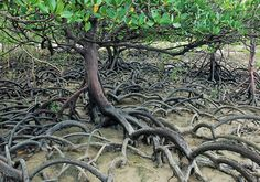 interesting aerial roots,World's largest Sunderbans Mangrove forest, India