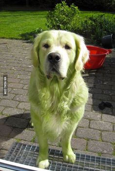 This golden retriever decided to roll on the freshly mowed lawn. Hulk Dog!