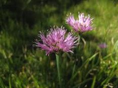 Allium validum S.Watson -W