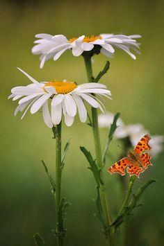 ромашка и бабочка