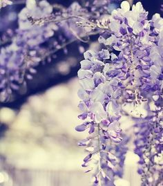 Wisteria. Up close and personal.