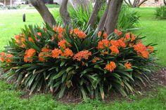 Image result for belgian hybrid orange bush lily