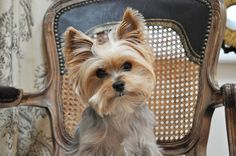 Otherworldly cute yorkie.