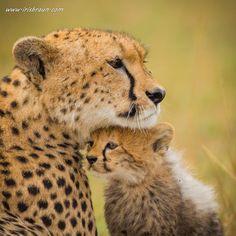 Cheetah Mother & her cub: Mother Love by Iris Braun Baby Animals Super Cute, Cute Animals, Beautiful Cats, Animals Beautiful, Big Cats, Cats And Kittens, Black Jaguar White Tiger, Baby Cheetahs, Cheetah Cubs