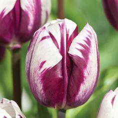 Tulip 'Blueberry Ripple' - Container Plants - Thompson & Morgan
