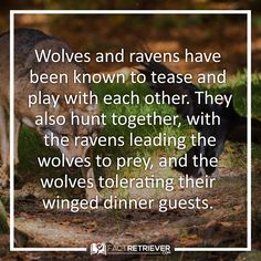 19 Ideas For Wolf Nature Tattoo Spirit Animal Wolves Raven And Wolf, Wolf Love, Pet Raven, Raven Facts, Tribal Wolf Tattoo, Wolf Tattoos, Animals And Pets, Cute Animals, Wolf Spirit Animal