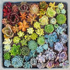 Shop succulents and cactus online! We offer a wide range of healthy, beautiful, and rare cactus and succulents plants shipped directly to your doorsteps. Rainbow Succulent, Jade Succulent, Succulent Cuttings, Succulent Gardening, Planting Succulents, Rainbow Garden, Succulent Containers, Container Flowers, Succulent Plants
