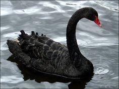черный лебедь птица - Поиск в Google