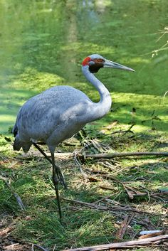 A Brolga (Grus rubicunda), sometimes known as the 'Native Companion' or 'Australian Crane', in Victoria, Australia. This individual is approximately 1 metre (3.3 ft) in height. A common gregarious wetland bird species in tropical and eastern Australia, the Brolga is well known for its intricate mating dance. Photo credit: John O'Neill