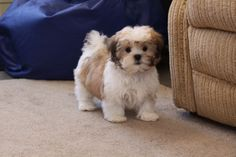 malshi puppies | Dogs and Puppies - Other Dog Breeds - Added on 03/02/2011